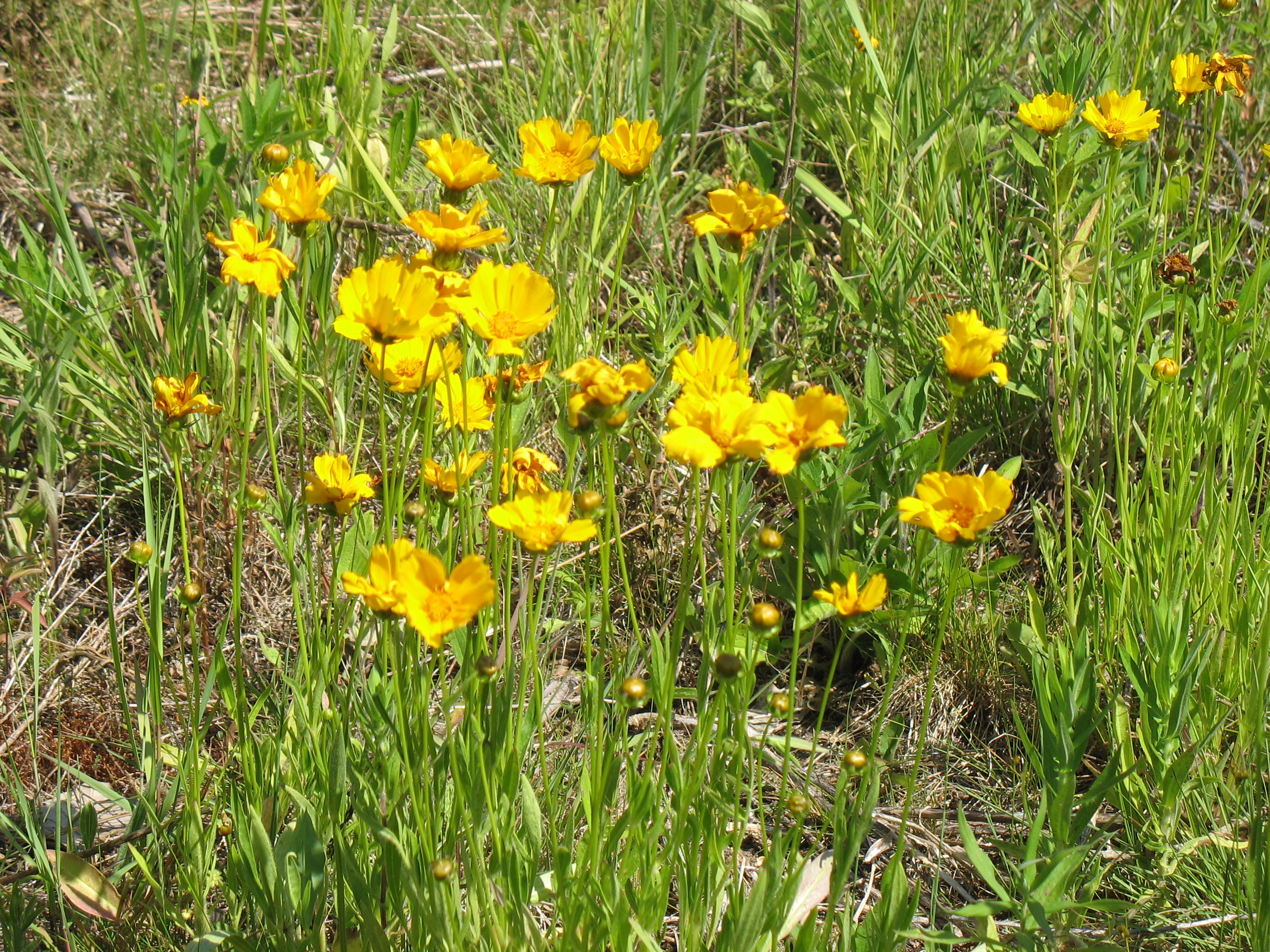 The Saline District Library Grounds Large Flowered Coreopsis