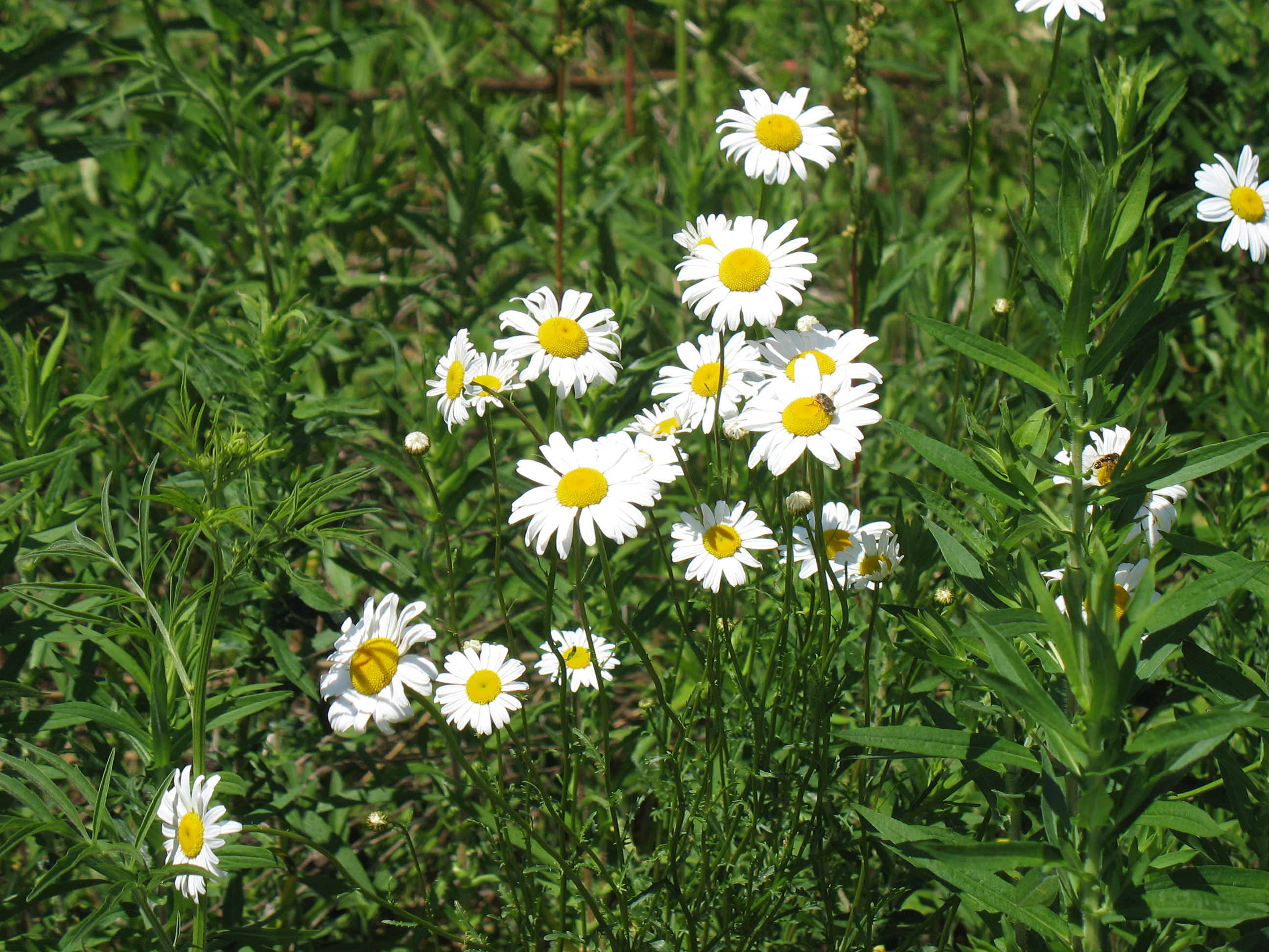 The saline district library grounds ox eye daisy info page from michigan flora net izmirmasajfo